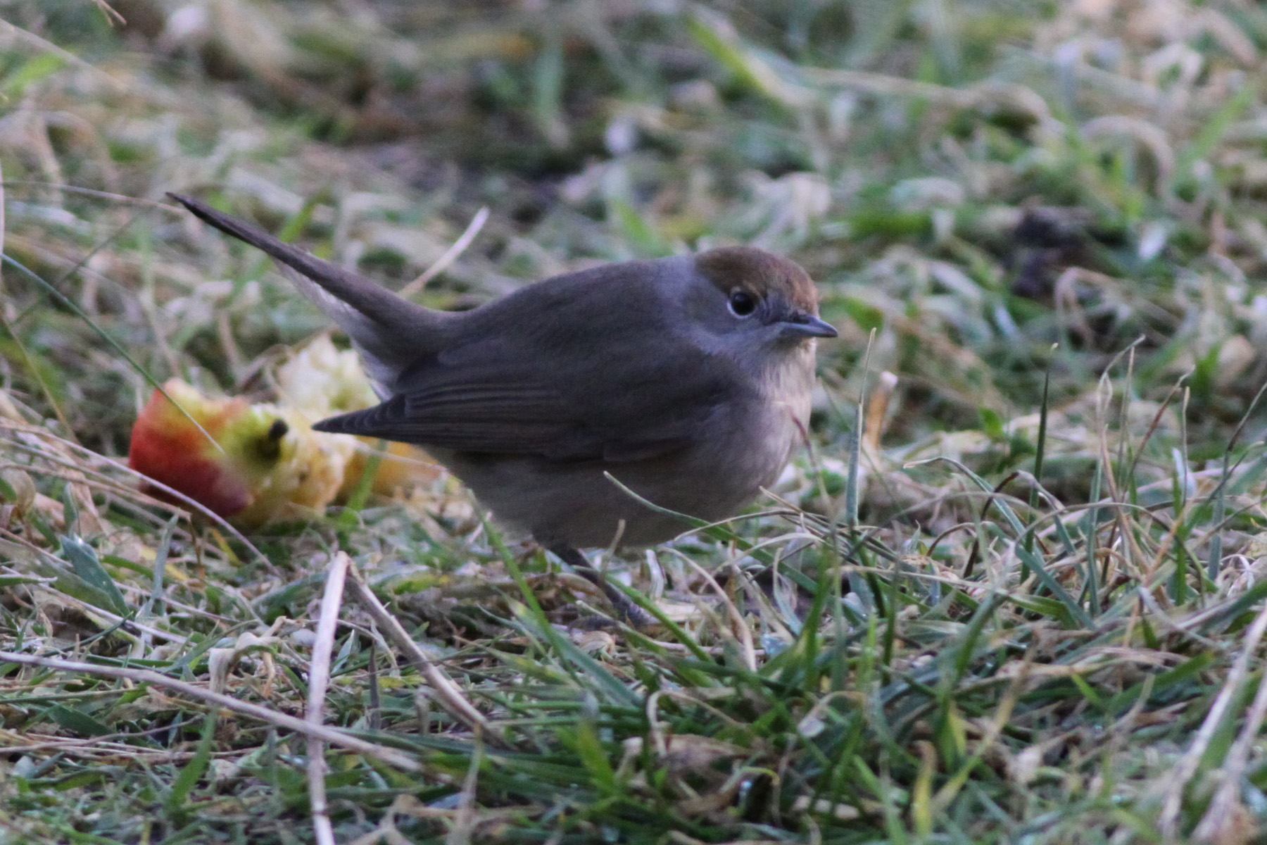 b2b748fa0 ... 2 Carrion Crow, Blackcap (Fair Isle's latest ever record was a female  at the Obs on 21st), 6 Fieldfare, Song Thrush, just small numbers of  Blackbird and ...